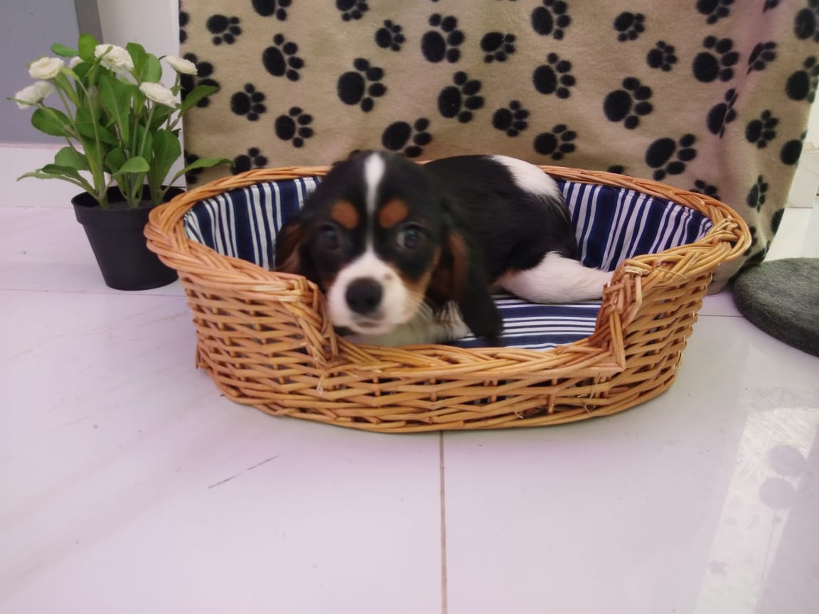 Cavalier King Charles Male