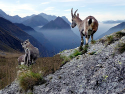 chamois-with-young-animals-2388636_1920.