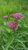 Purple milkweed - Asclepias purpurascens