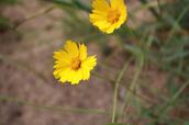 Sand coreopsis - Coreopsis lanceolata