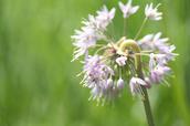 Nodding onion - Allium cernuum