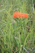 Butterfly milkweed - Asclepias tuberosa