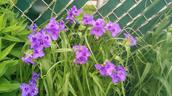 Ohio spiderwort - Tradescantia ohiensis