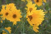 False sunflower- Heliopsis helianthoides