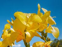 Yellow Canna.jpg