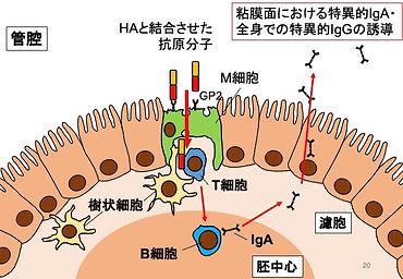 粘膜ワクチン.jpg