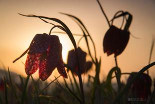 Močvirski tulipan in sončni zahod