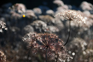 Suho cvetje
