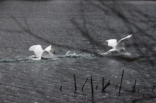Pristanek labodov na jezerski gladini