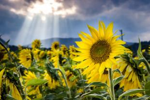 Sončnice na Barju