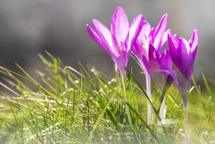Bojan Rupnik Photography, fotografija narave: žafran