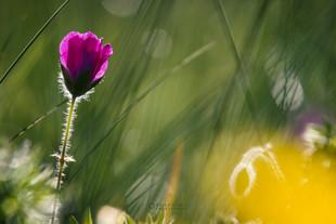 Makov cvet