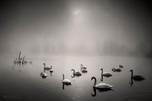 Labodi, jezero, jutranja megla in sončni vzhod