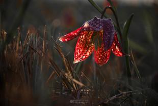 Močvirski tulipan