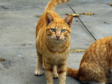 Kedinizin Ne Söylemek İstediğini Anlayın: Kuyruk Hareketleri
