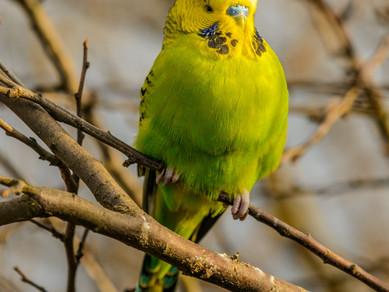 Muhabbet Kuşlarında Beslenme Nasıl Olmalıdır?