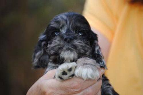 #2 AKC merle Male Cocker Spaniel  Puppy