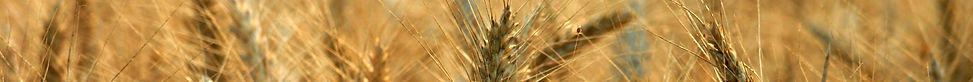 Wheat Photo.jpg