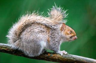 Squirrel roztomila
