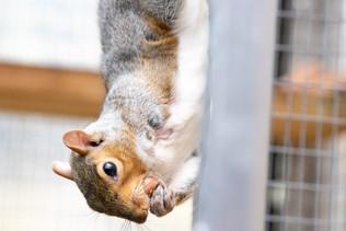 Squirrel postizeny
