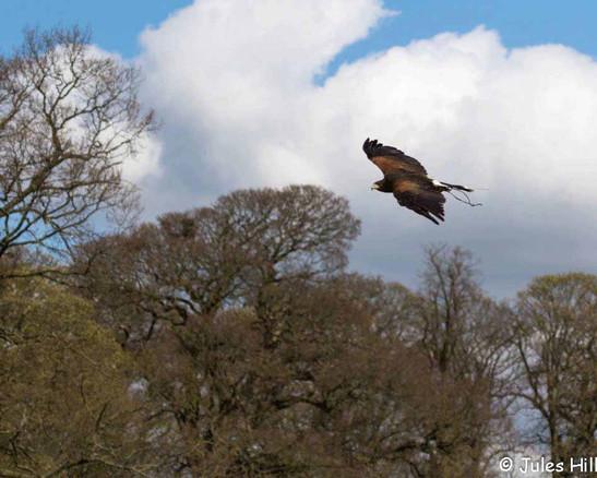 Jess soaring against a winter sky