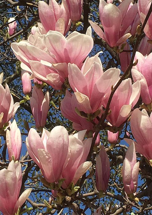 visuel-Magnolias.jpg