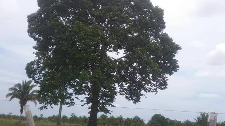 Foto da árvore de um dos momentos na estrada no caminho de Porto velho para Ji-Paraná no período quando fui dar um curso para o pessoal da ACUDA em Rondônia, e não resiste a uma pausa para contemplar a natureza voltando de uma cerimônia espiritualista de um dia de folga.