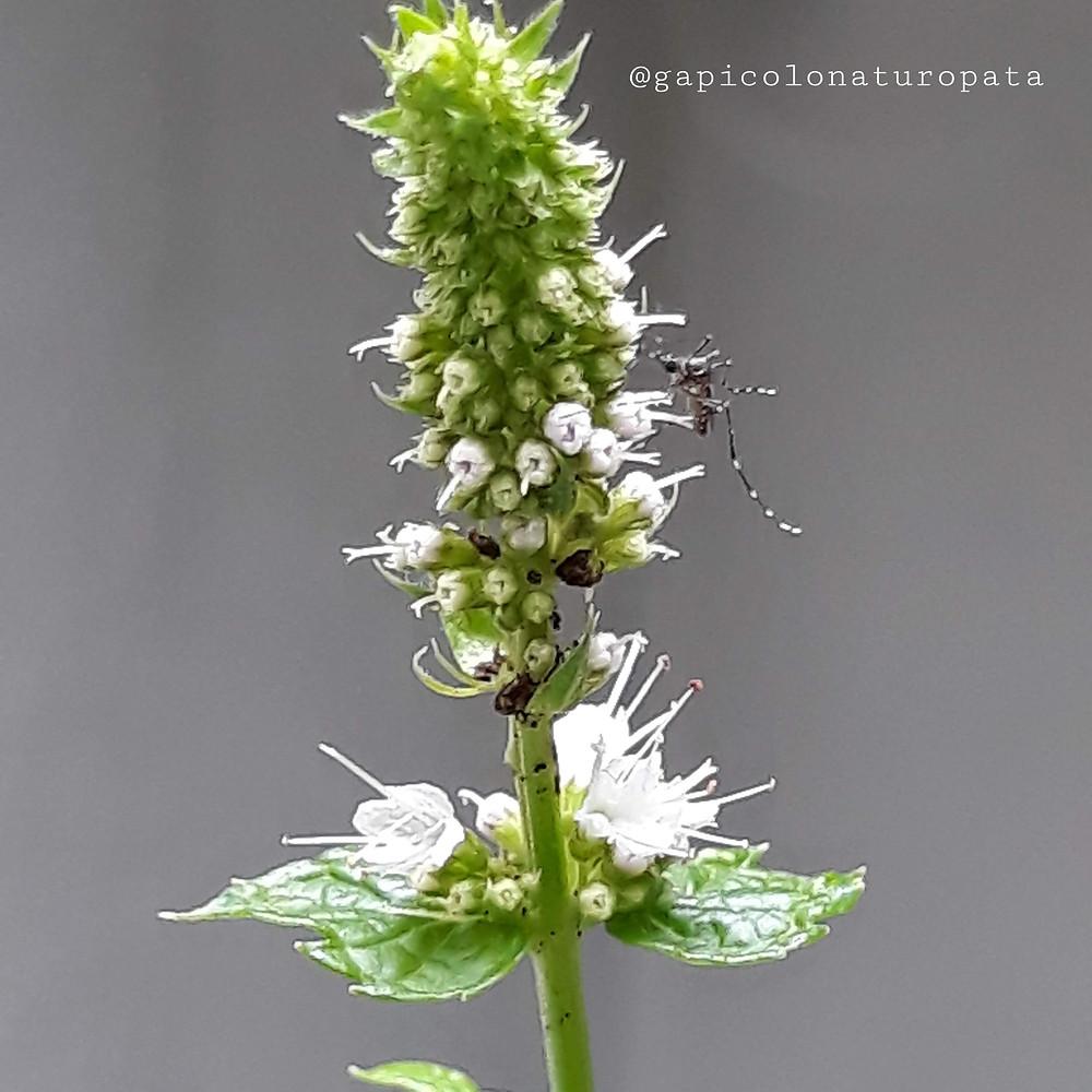 Flor de hortelã com inseto em jardim