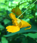 A Jewel in the Weeds: Jewelweed