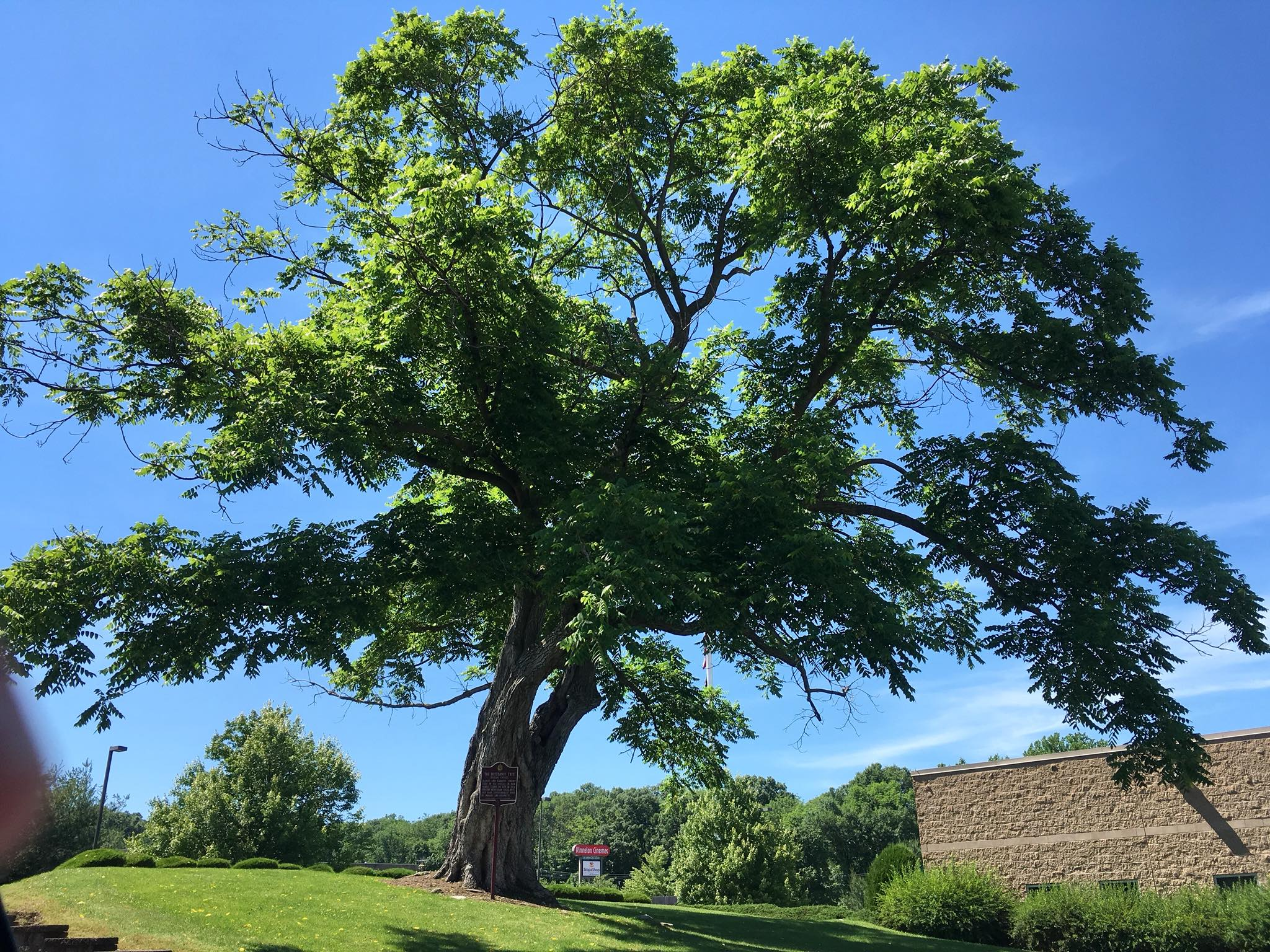 Historic Landmark Butternut Tree