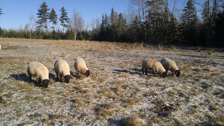 Lambs in pasture, November 2017