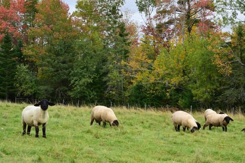 Lambs in pasture, October 2017.