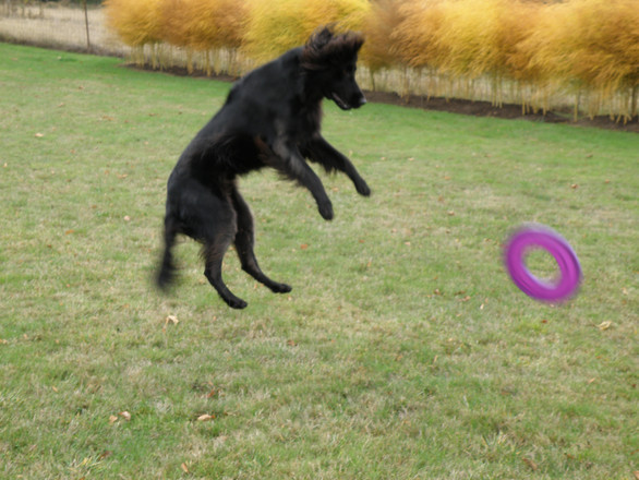 Sockeye jumps for the frisbee