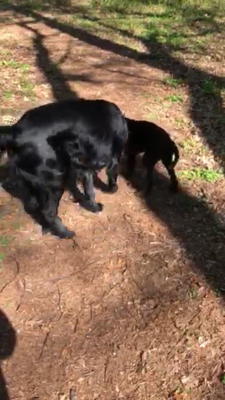 Grindel and Caymus playing tug