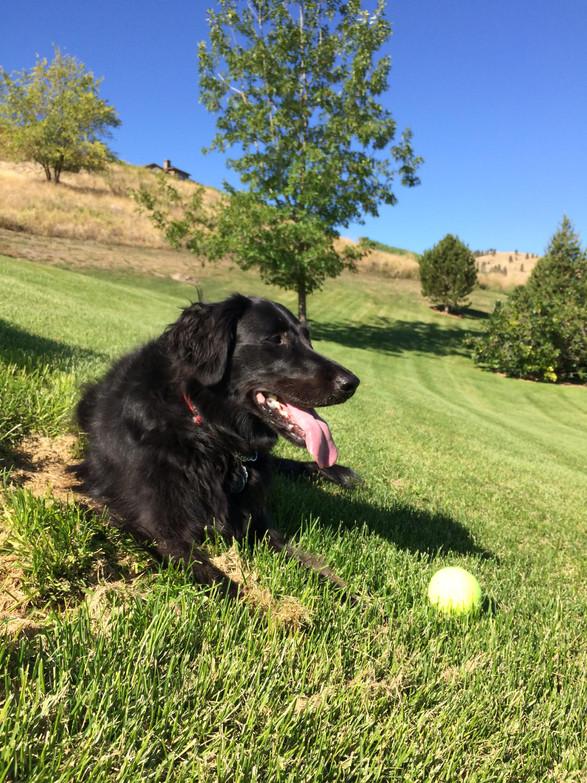 Lucy resting between retrieves