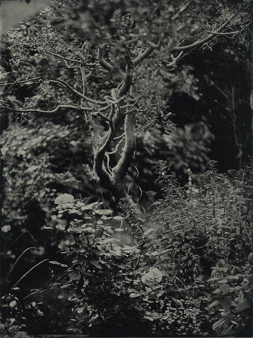 Tree In a Garden, tintype 18x24 cm