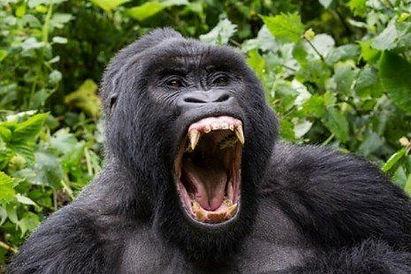 Caninos do gorila