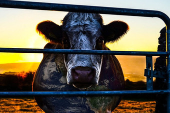 A conspiração da vaca