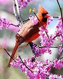 cardinal-w-spring-flowers.jpg