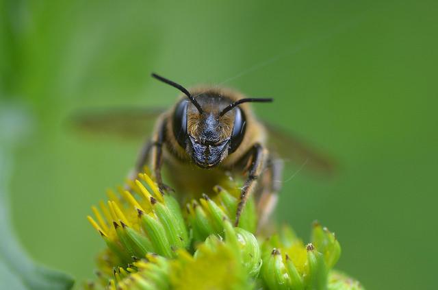 Megachile ligniseca female