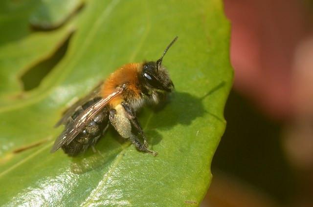 Andrena nitida female