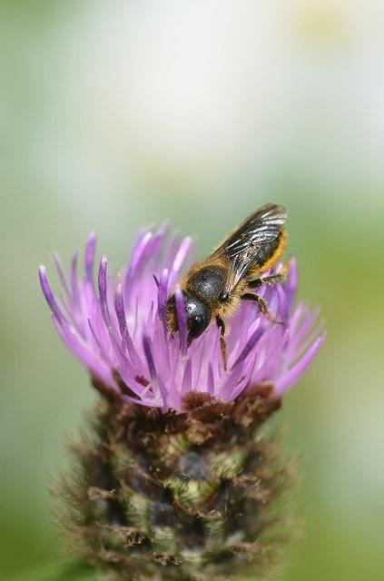 Osmia leaiana female