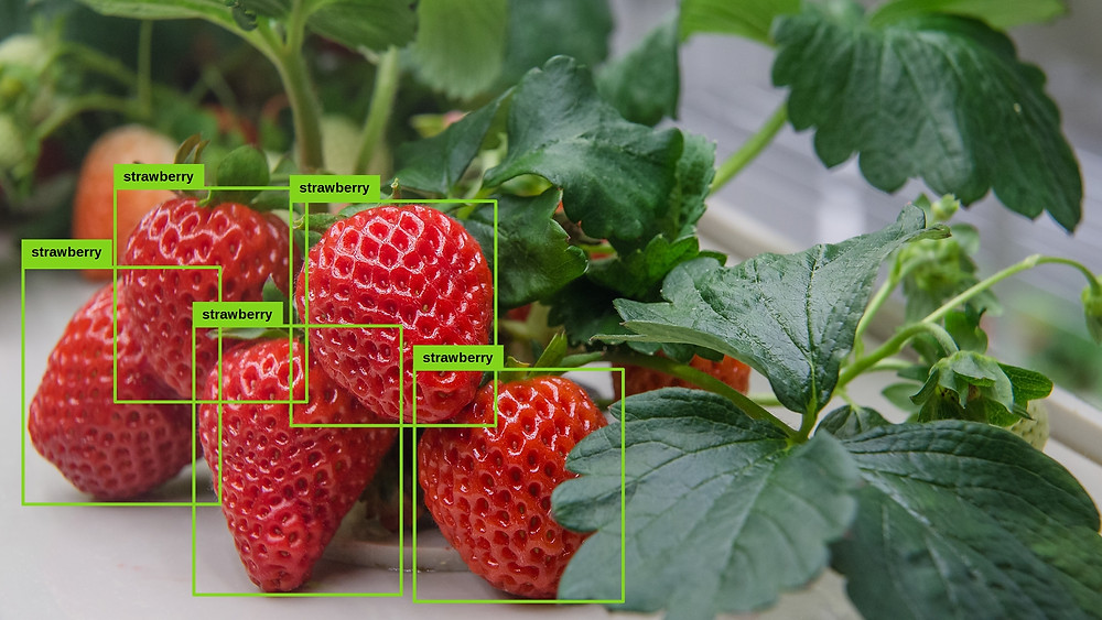 Image recognition for harvesting strawberries in vertical farm