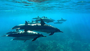 Wild dolphins in Hawaii