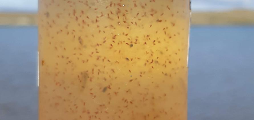 Live zooplankton full of fatty acid