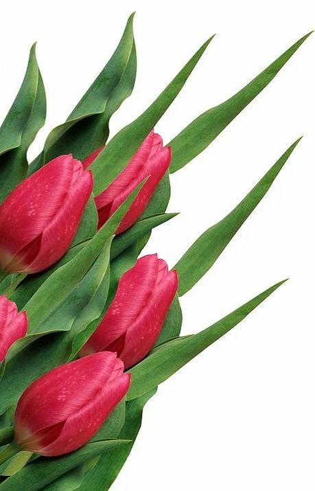 tulip-3515181_960_720_edited.jpg