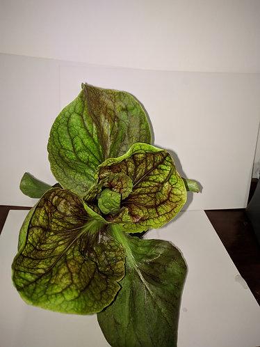 Red & Green Lettuce/红/绿莴苣 seedlings