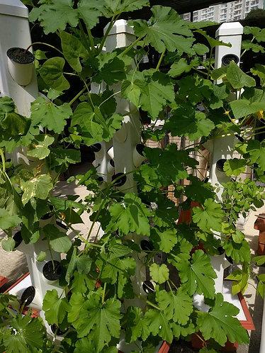 Zucchini/夏南瓜 plants