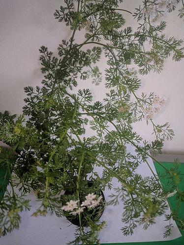 Corriander/香菜 seedlings