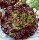 Carmona Red Lettuce/卡莫納紅生菜 seedlings